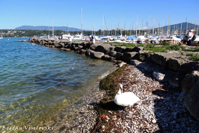 15. Swan in the port
