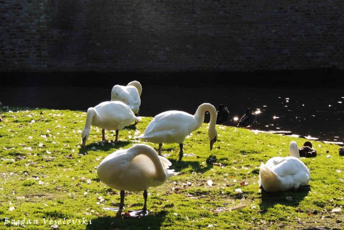 15. Swans