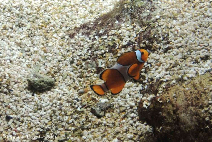 30. Clown fish - Aquarium of Genoa (Acquario di Genova)