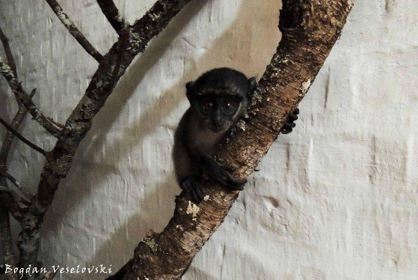 In the jungle, the quiet jungle, Nkhwinkwi sleeps tonight