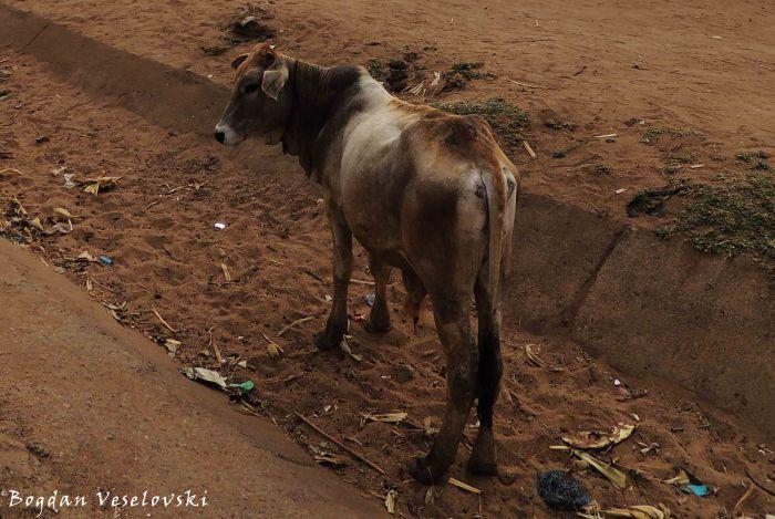 Ng'ombe (young bull)