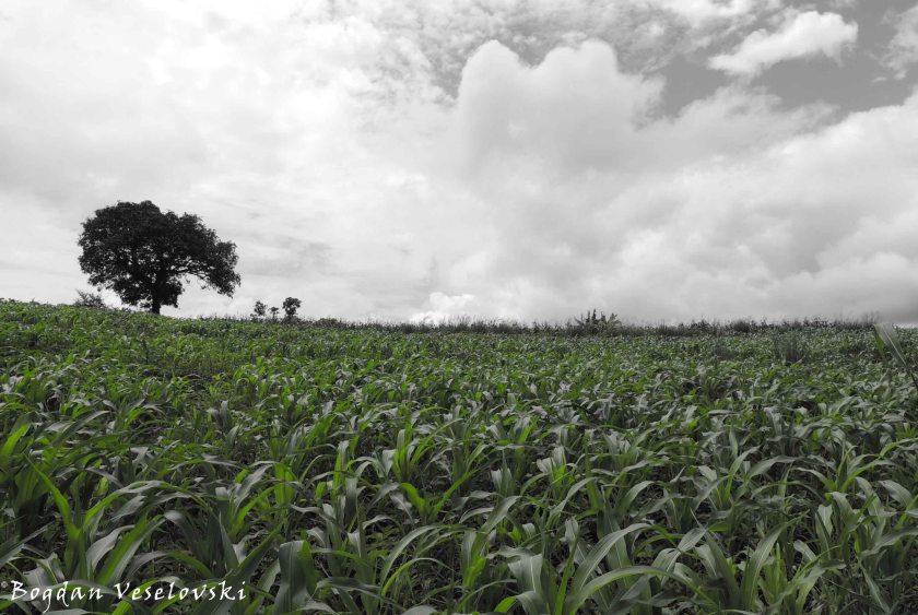 Maize field in the rainy season