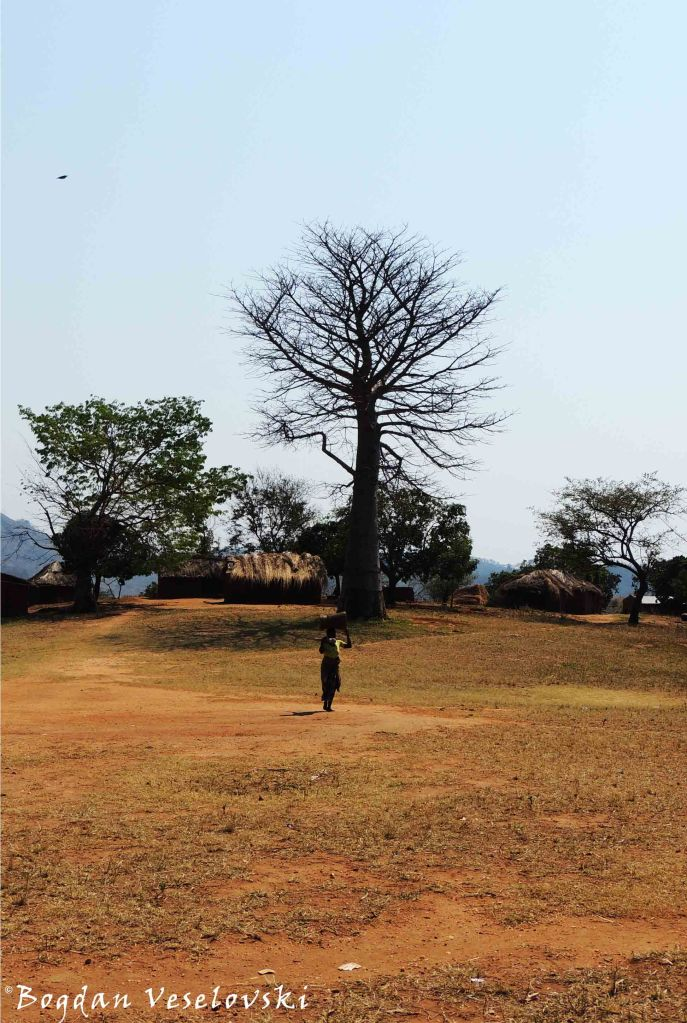 Baobab tree in Pheledzenge