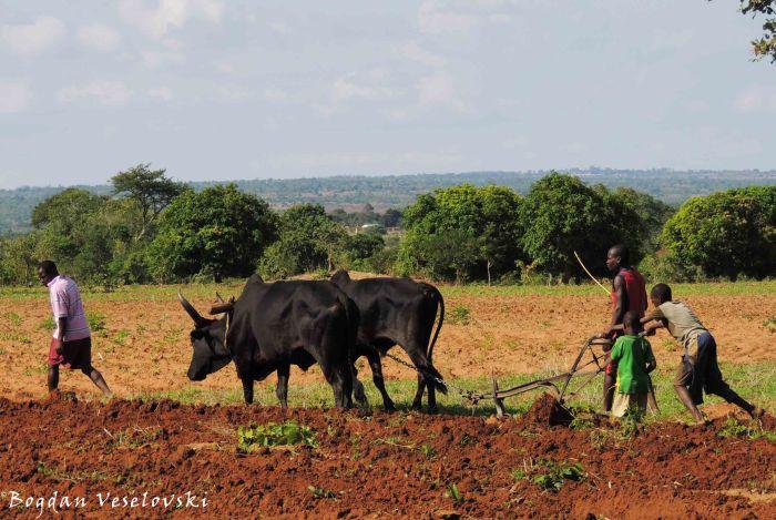 Kugawula (ploughing)