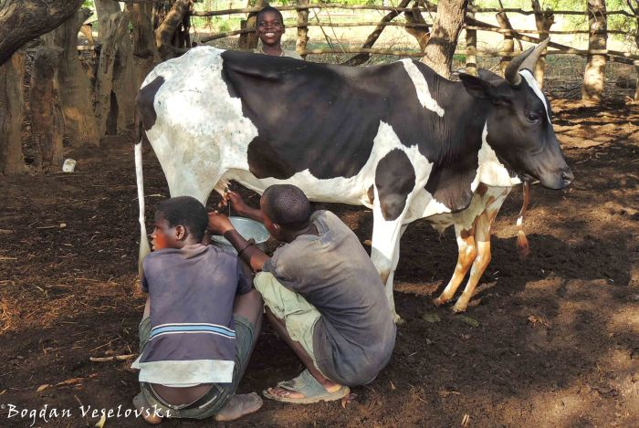 Kukama ng'ombe (milking the cow)