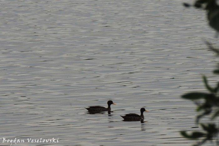 Abakha (ducks)