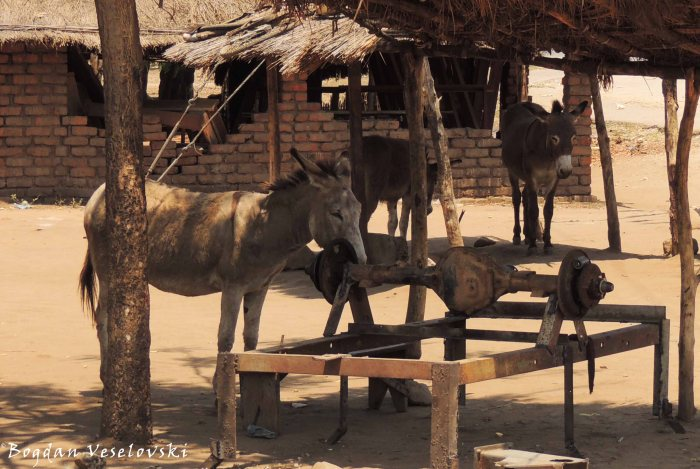 Abulu (Donkeys in Nsanje)