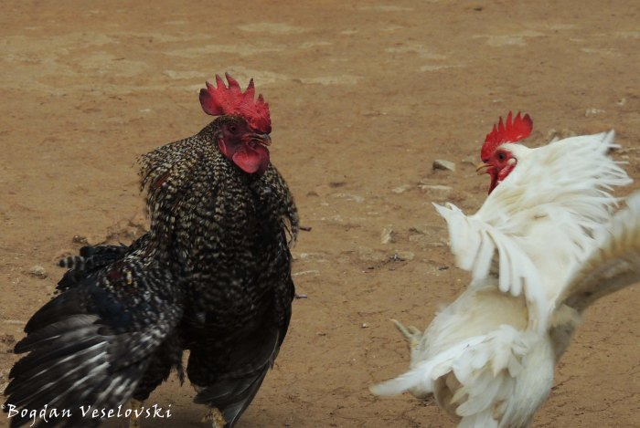 Atambala (roosters fighting)