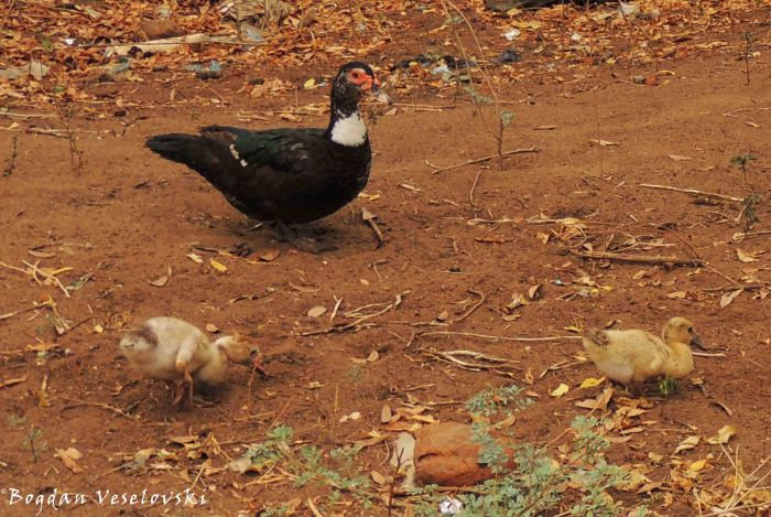 Bakha (duck & ducklings)