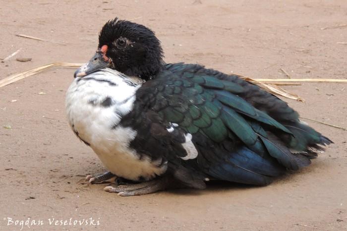 Bakha (duck)