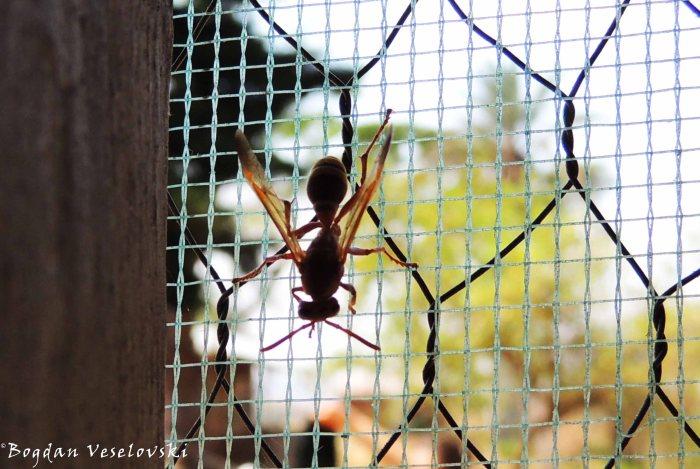 Bavu (wasp)