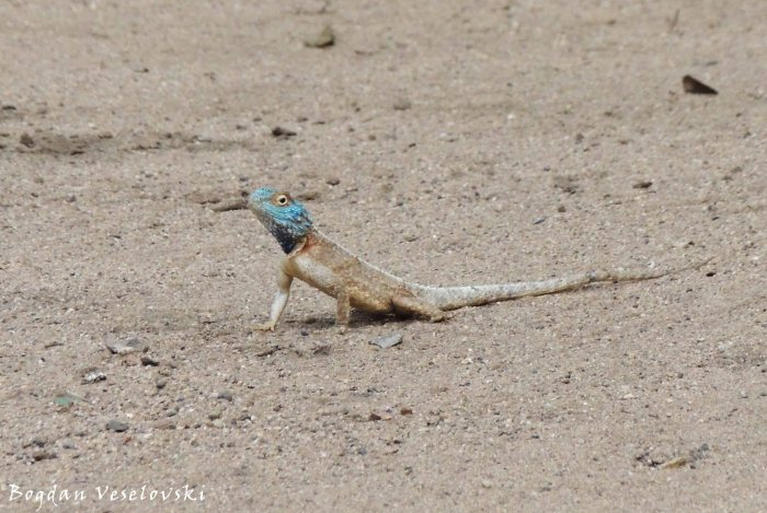 Blue head agama lizard