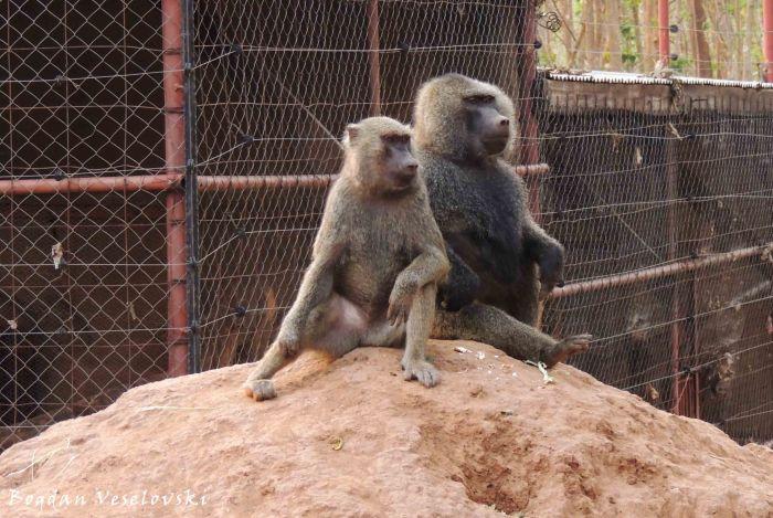 Bongwe (baboons)