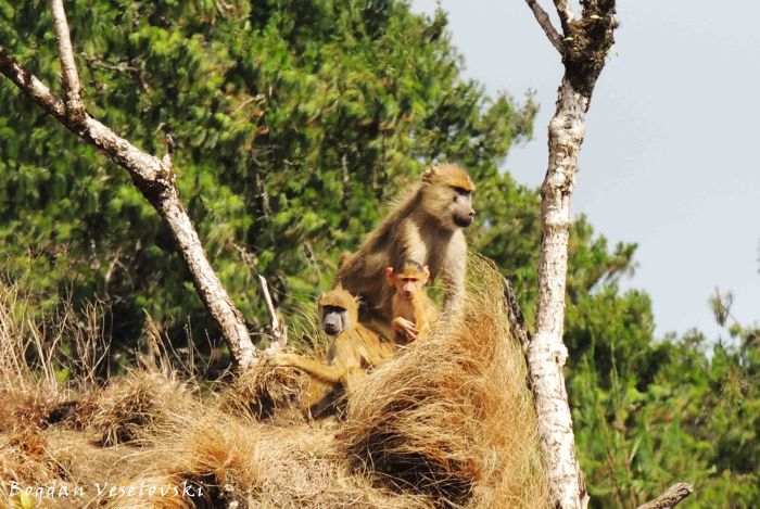 Bongwe (baboon in Zomba)