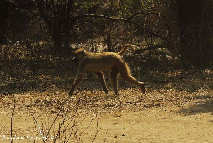 Bongwe (baboon)