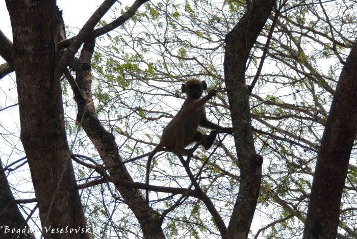 Bongwe (young baboon)
