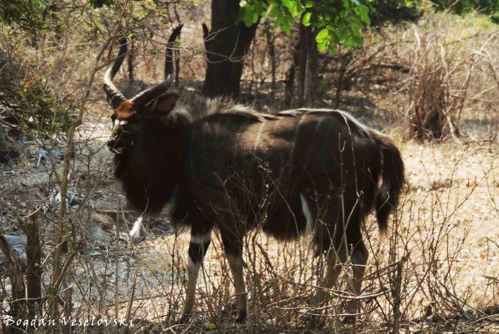 Boo (nyala bull. tragelaphus angasi)