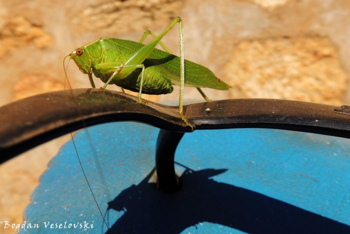 Bwamnoni (kind of grasshopper with fat. katydid)