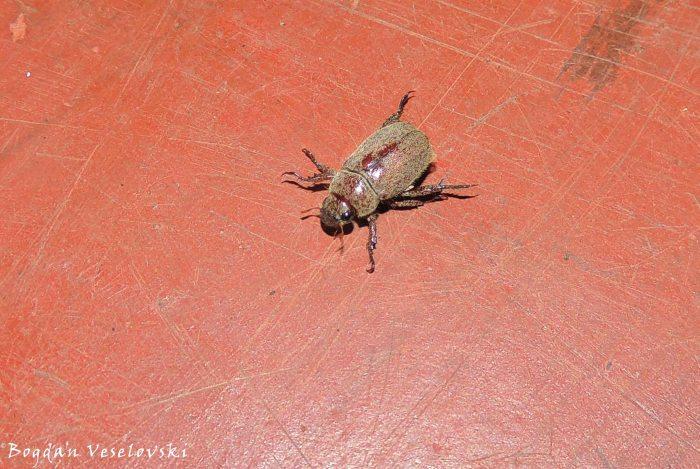Chikumbu (beetle)
