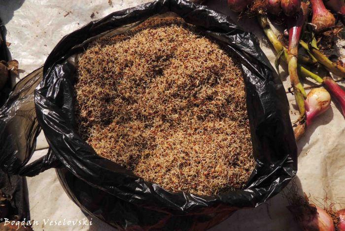 Chimera (germinated seeds)