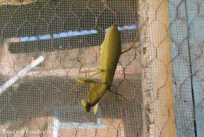Chiswamphika (praying mantis)