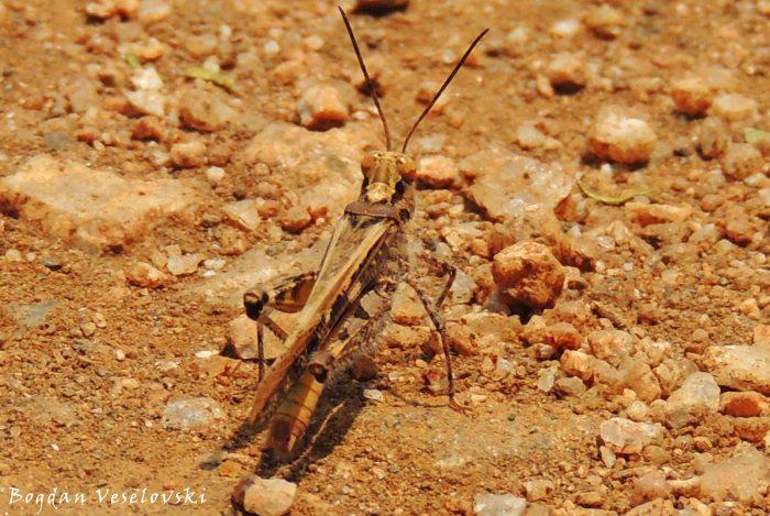 Chitete (grasshopper)