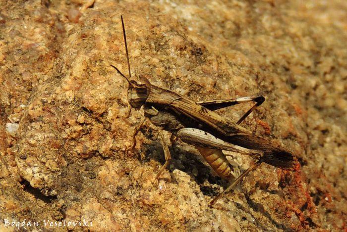 Chiwala (grasshopper)