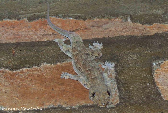 Chizira Nkhonde (lizard)