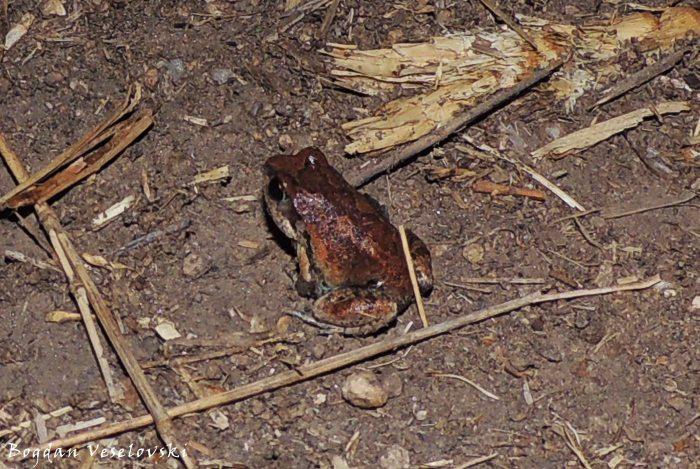 Chule (frog)