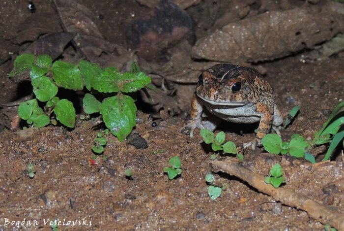 Chule (toad)