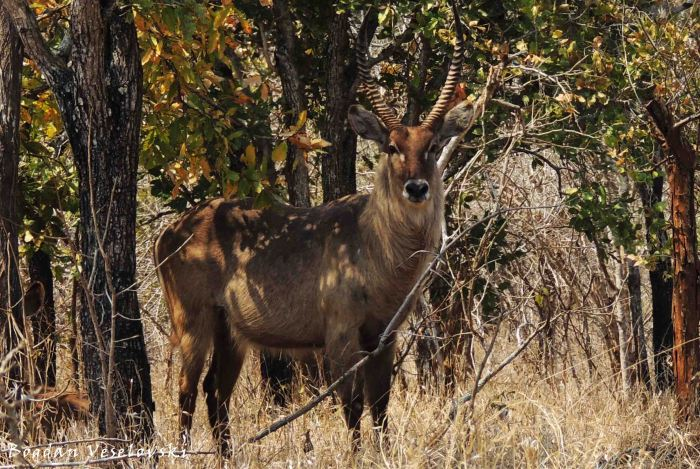 Chuzu (common waterbuck bull. kobus ellipsiprymnus)