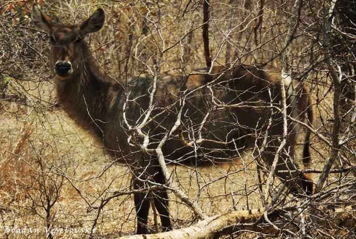 Chuzu (common waterbuck female)