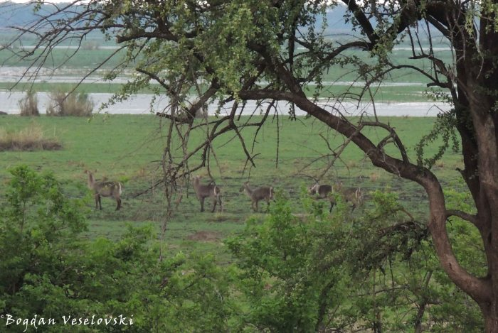 Chuzu (waterbuck females. kobus ellipsiprymnus)