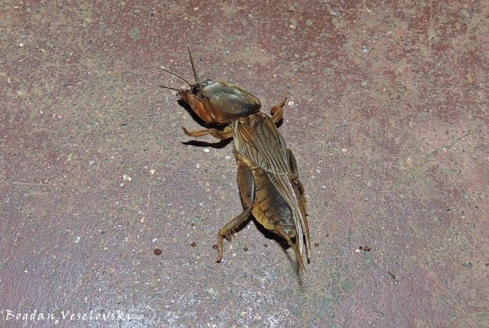 Nkhululu (mole cricket)