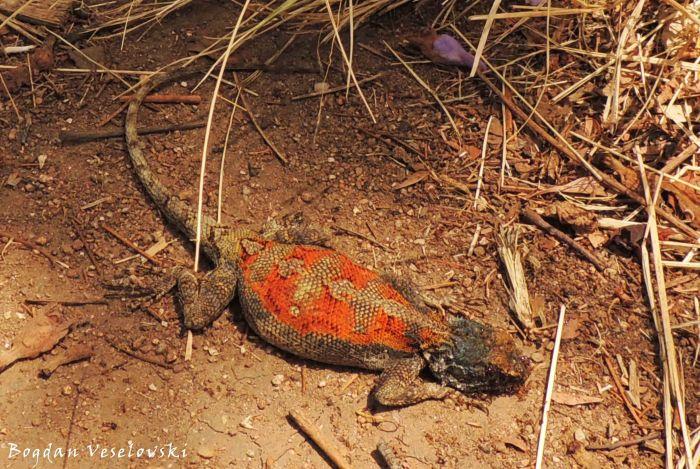 Dududu (lizard)