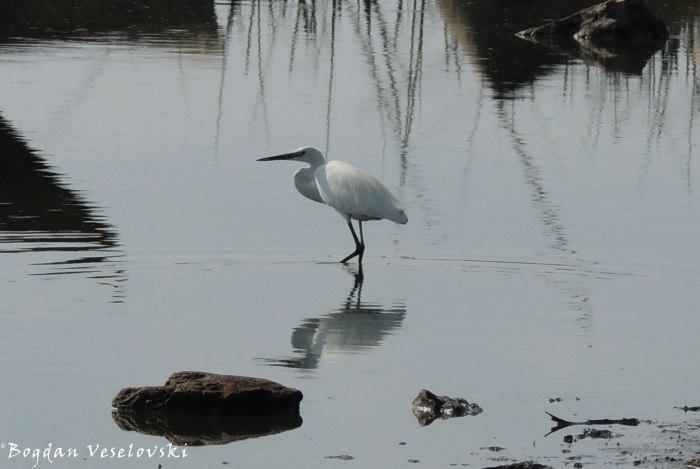 Egret in Chilwa