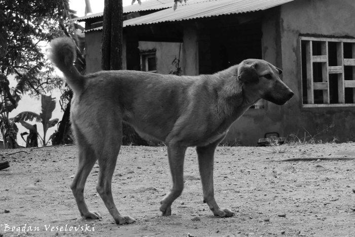 Galu (dog)