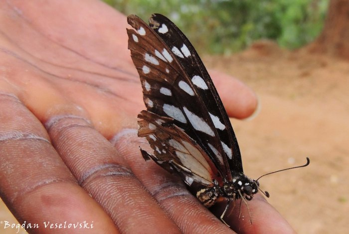 Gulugufe (butterfly)