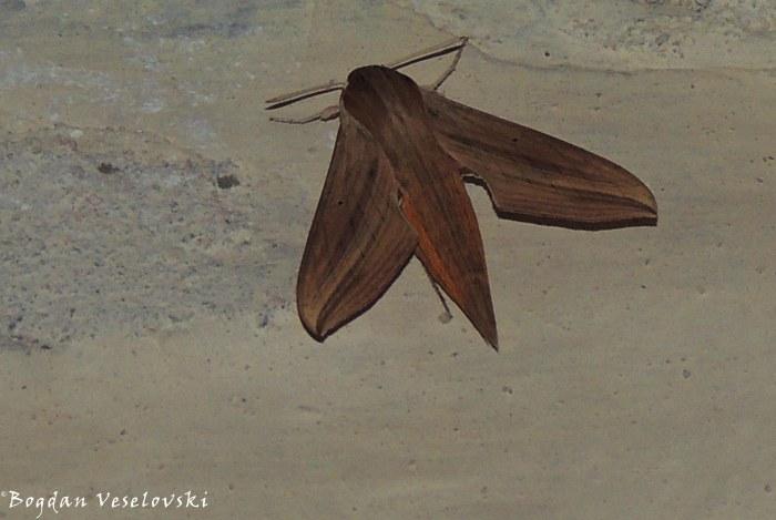 Gulugufe (moth)