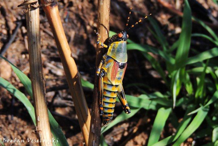 Kafadala / Mnunkhadala (elegant grasshopper)