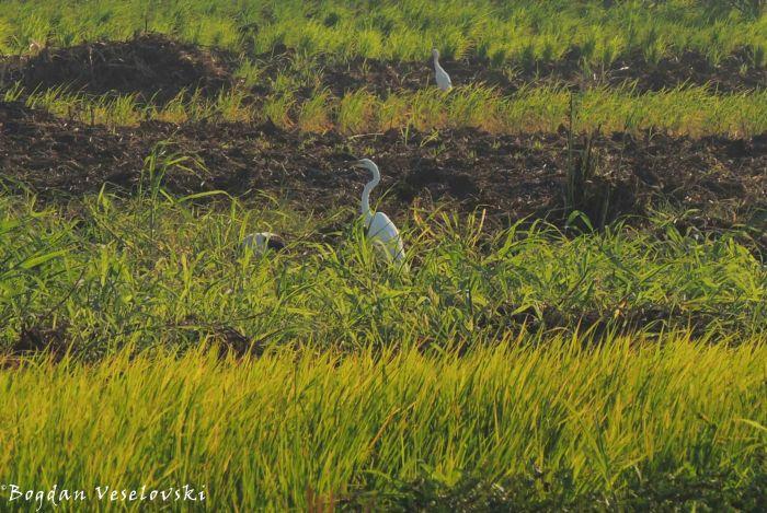 Kakowa (egret)