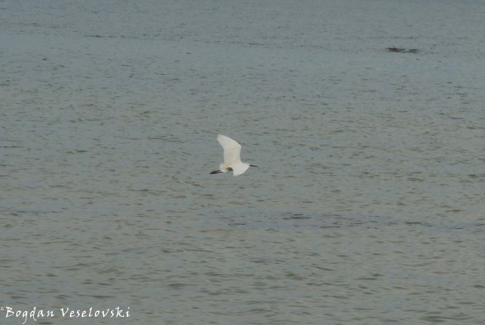 Kakowa (egret in Chintheche)