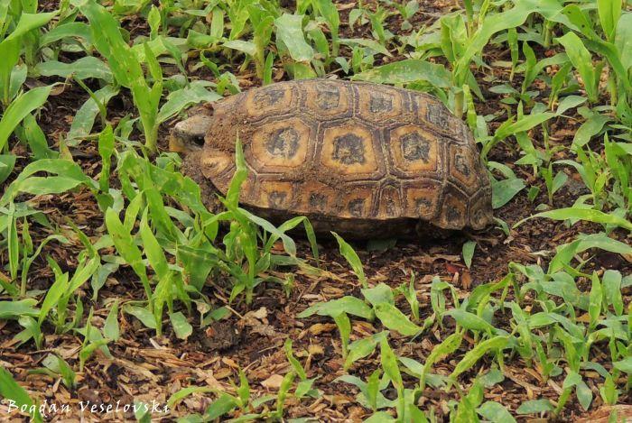 Kamba (tortoise)