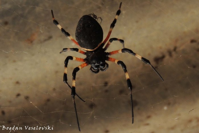 Kangaude (spider)