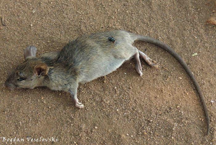 Khoswe (rat)