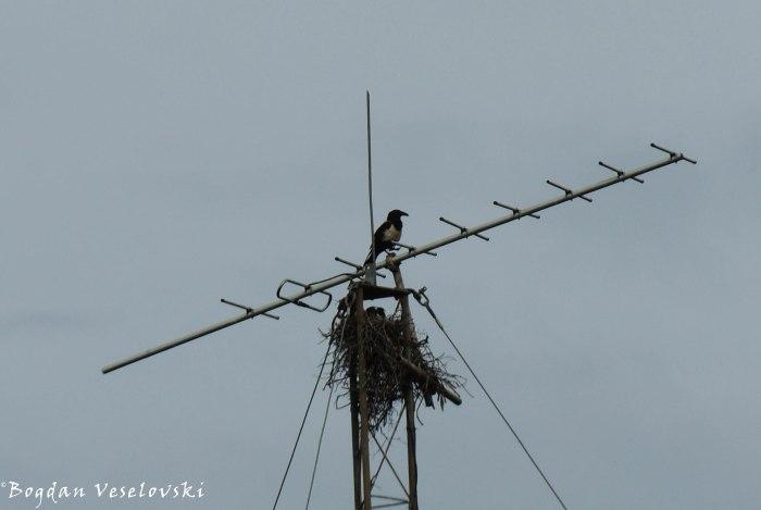 Khwangwala (pied crow. corvus albus)
