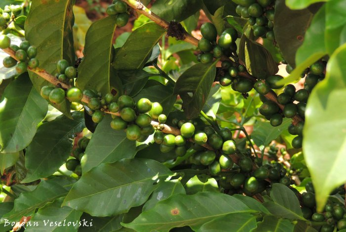 Kofi (coffee beans in Satemwa)