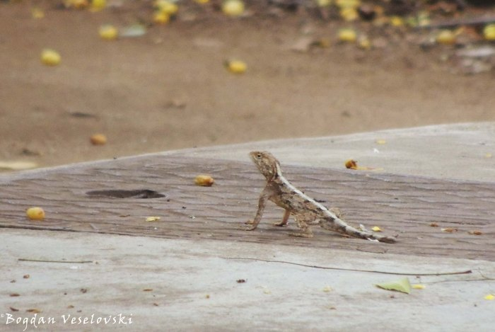 Lizard (buluzi)
