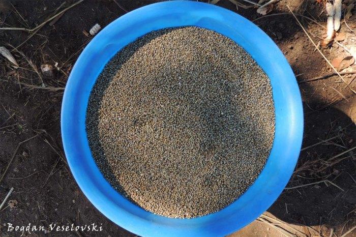 Mapira (sorghum)