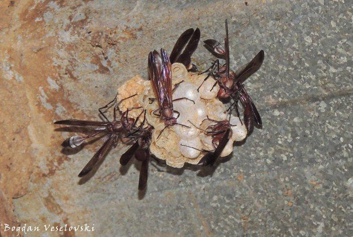 Mavu (wasps)